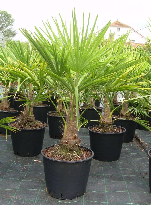 CanlıBahçe Fidancılık – Palmiye: klasik tarz tarz Bahçe