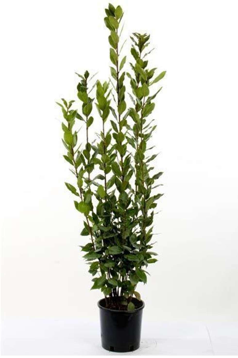 CanlıBahçe Fidancılık – Defne Ağacı : klasik tarz tarz Bahçe