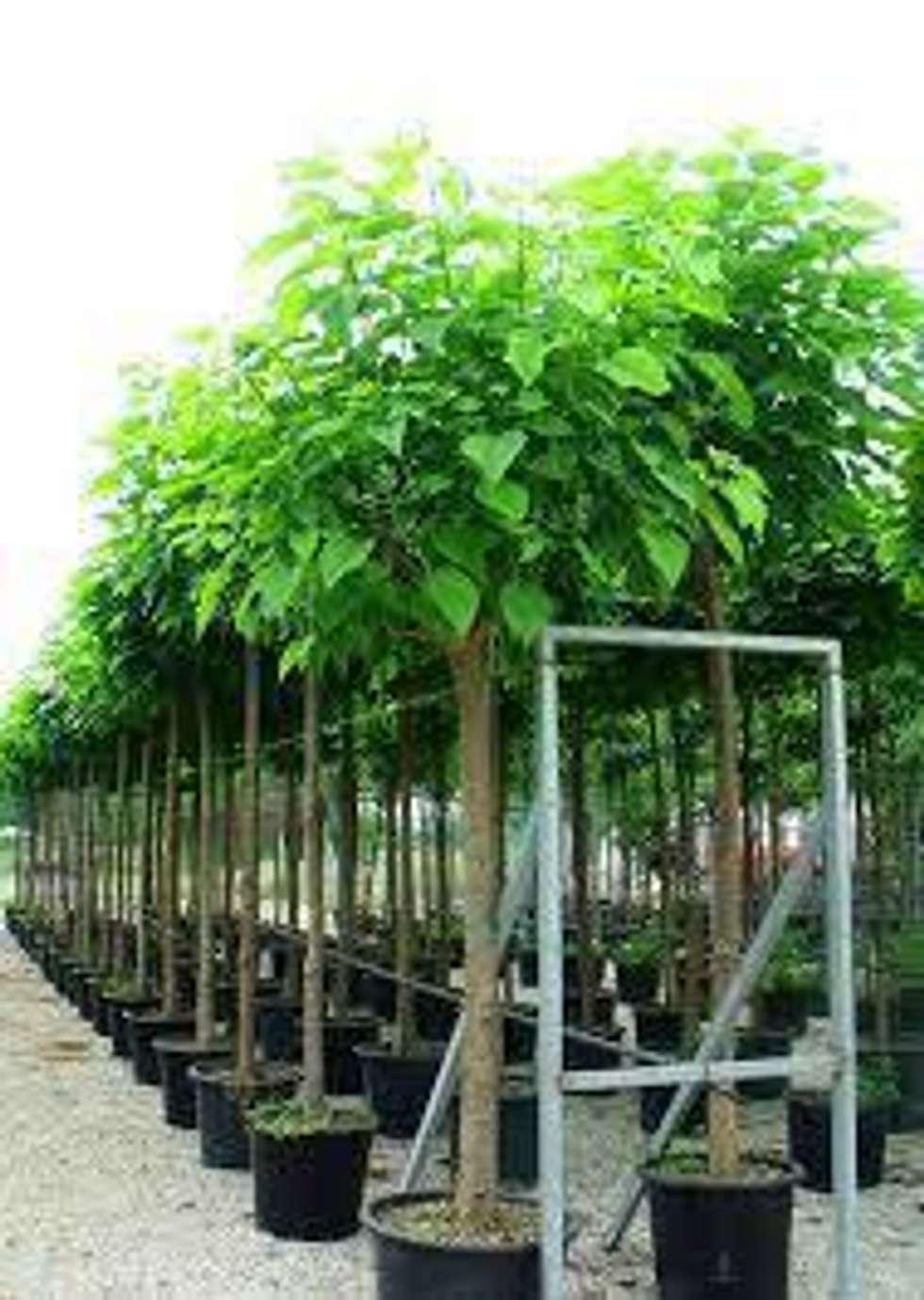 CanlıBahçe Fidancılık – Katalpa - Catalpa: klasik tarz tarz Bahçe
