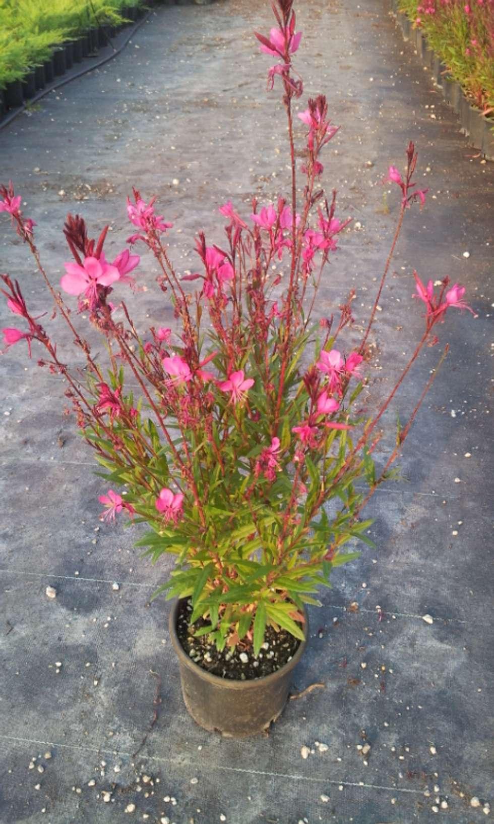 CanlıBahçe Fidancılık – Gaura Çalısı: klasik tarz tarz Bahçe
