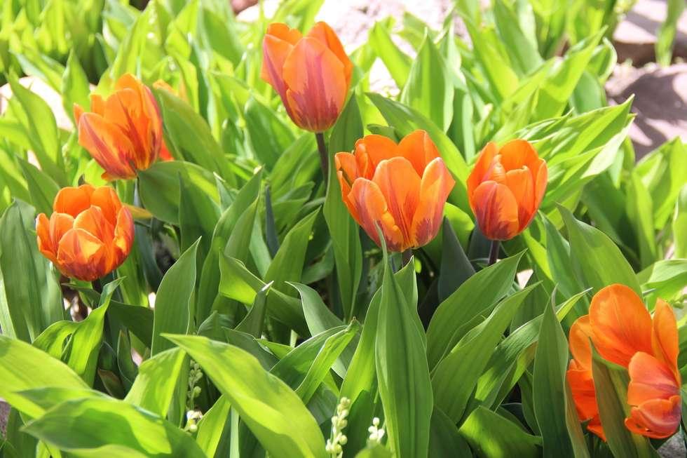 tulipany w konwaliach: styl , w kategorii Ogród zaprojektowany przez Garden Ekspert Studio Architektury Krajobrazu