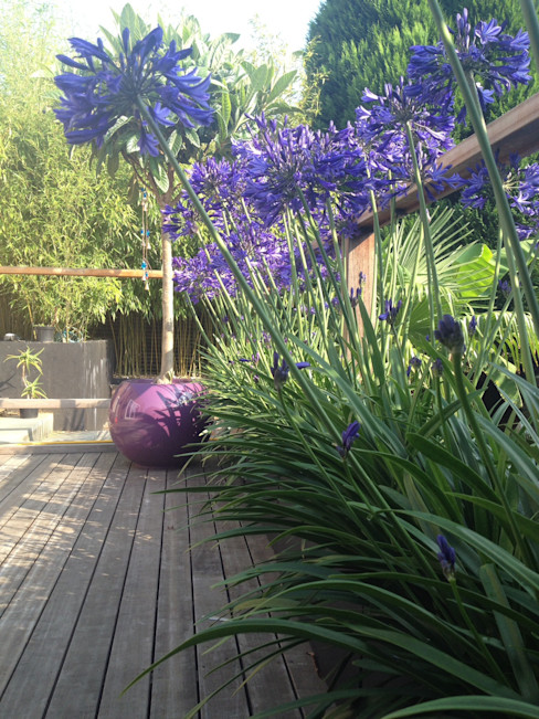 Agapanthus in full bloom Paul Newman Landscapes Tropical style garden