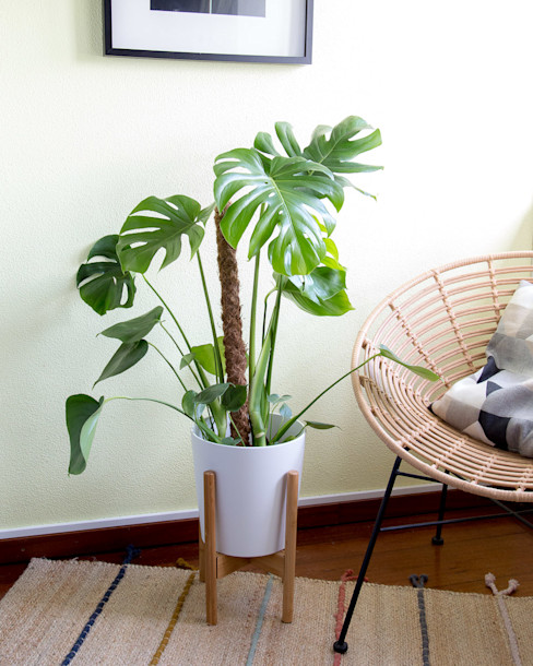 Monstera deliciosa | Costela de Adão Urban Jungle - Plantas e Projectos CasaPlantas e acessórios
