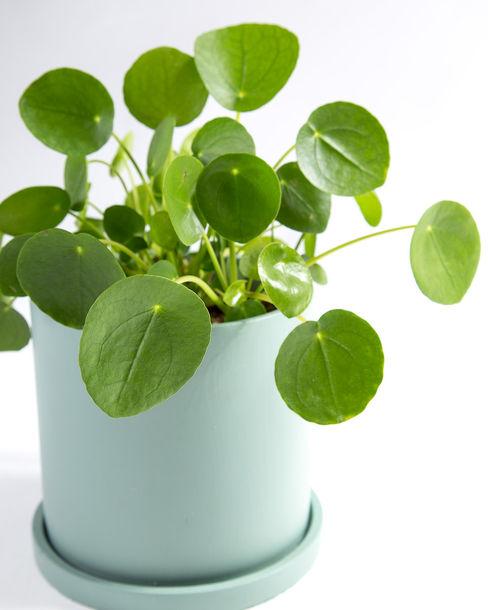 Pilea peperomioides | Planta Chinesa do Dinheiro Urban Jungle - Plantas e Projectos CasaPlantas e acessórios