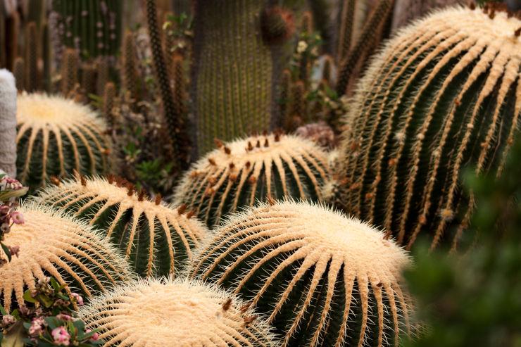 Echinocactus grusonii homify Balkon, Veranda & TerrassePflanzen und Blumen