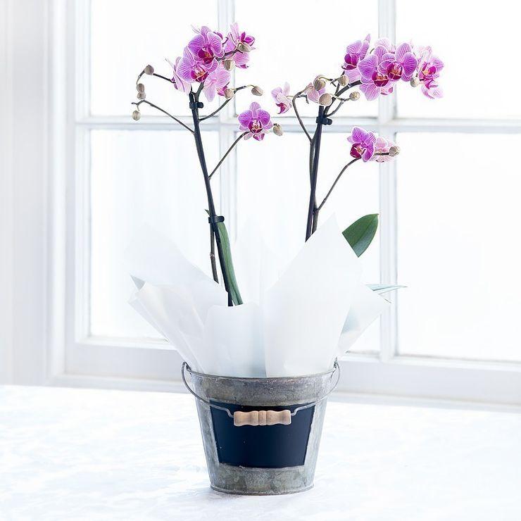 Pink Double Orchid Plant Appleyard London Garden Plants & flowers