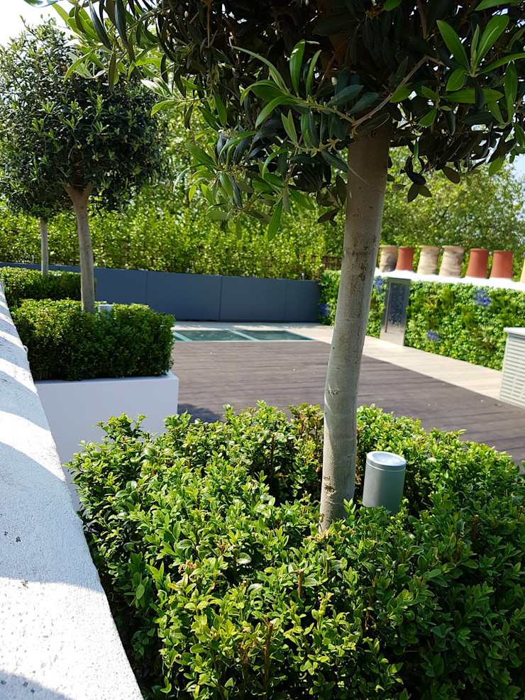 Olive trees in white cube planters underplanted with box hedging & LED lighting Paul Newman Landscapes Modern balcony, veranda & terrace