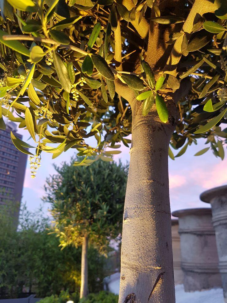 Olive tree detail Paul Newman Landscapes Modern balcony, veranda & terrace