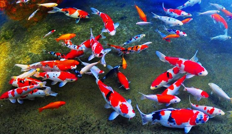 Jual Bibit Ikan Koi Harga Murah KolamKoi