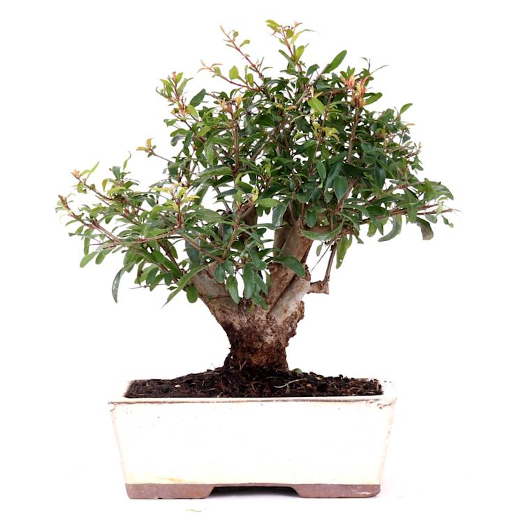 bonsai auch f r das zimmer geeignet de bonsai shopping. Black Bedroom Furniture Sets. Home Design Ideas