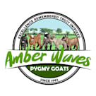 Amber Waves Pygmy Goats Norco