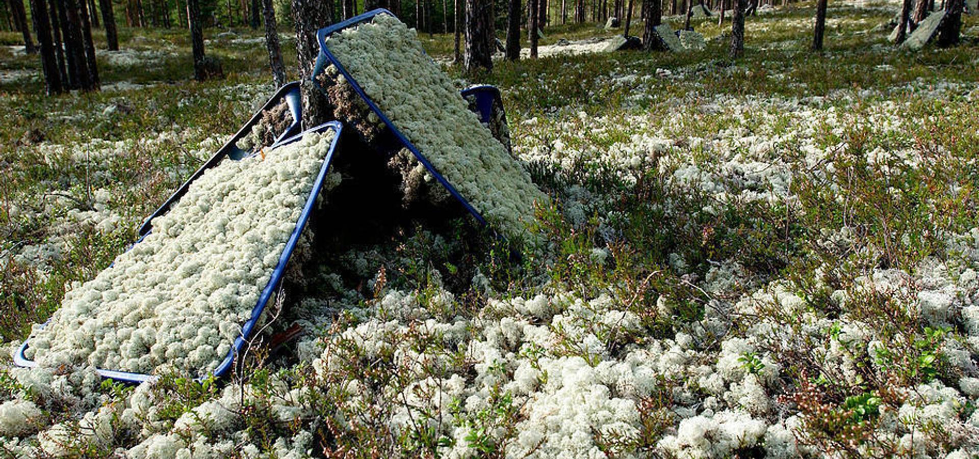 İskandinav Ormanlarından Canlı Tablolar