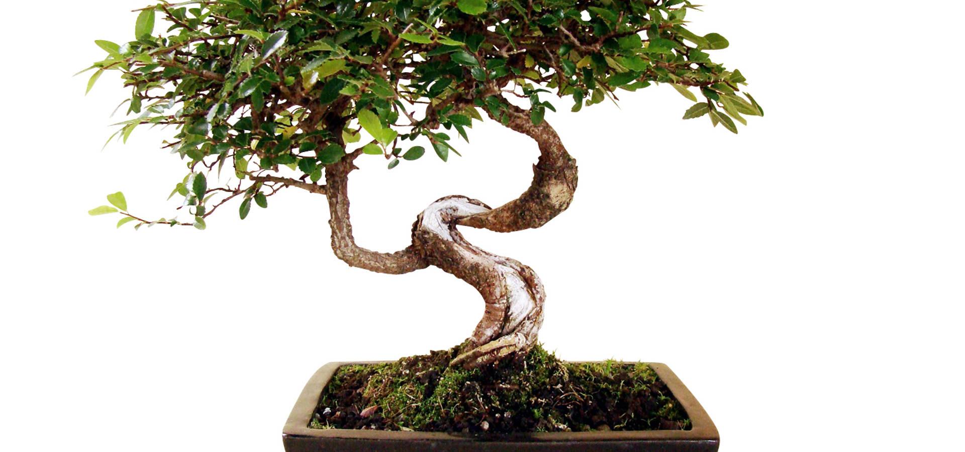 bonsai chinesische ulme por genki bonsai homify. Black Bedroom Furniture Sets. Home Design Ideas