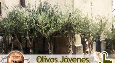 Venta de olivos El Ventorro 1920