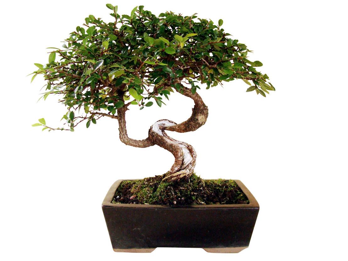 bonsai chinesische ulme von genki bonsai homify. Black Bedroom Furniture Sets. Home Design Ideas