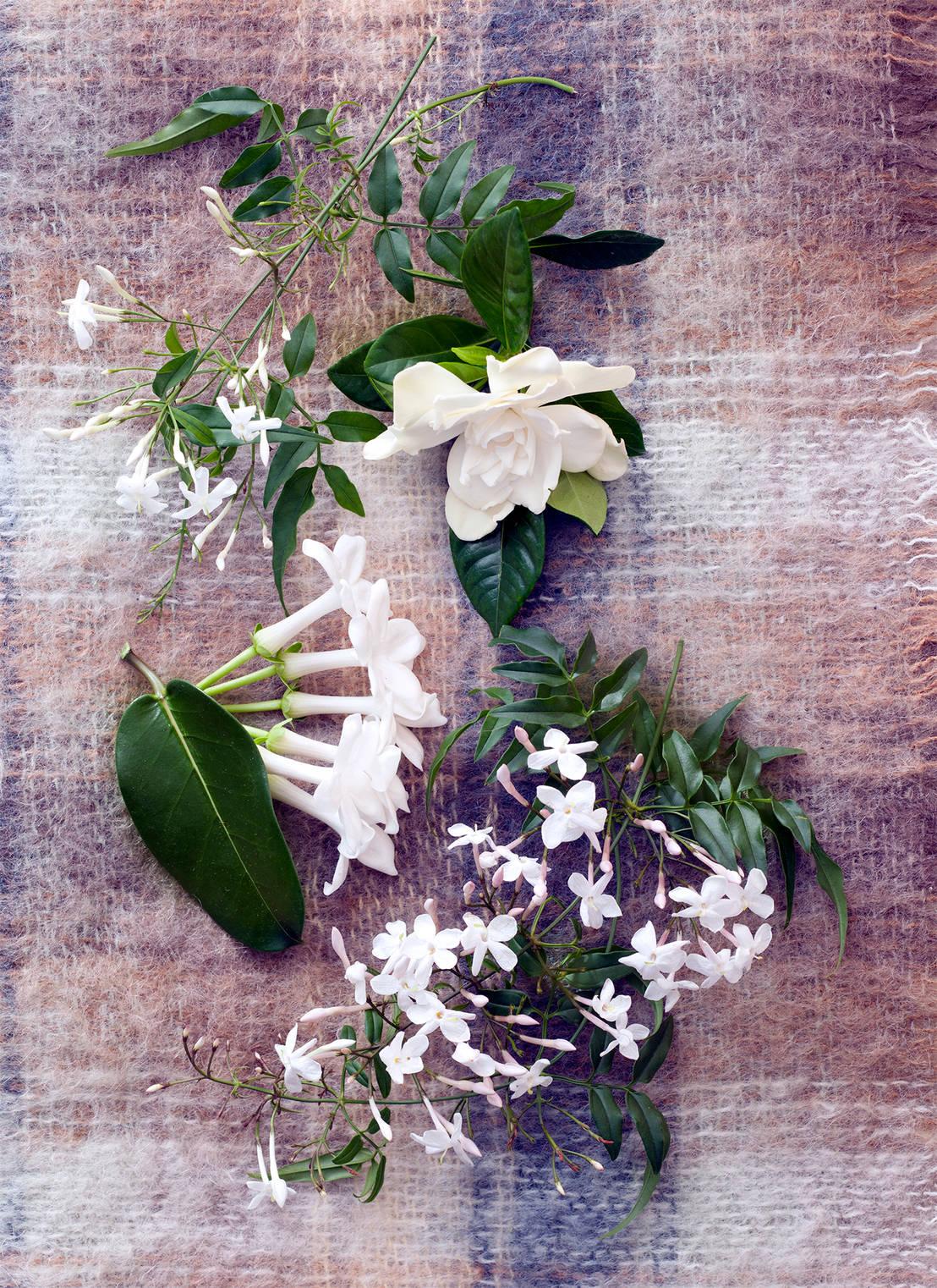 Duftende bl ten in wei sind zimmerpflanzen des monats for Zimmerpflanzen dekorativ
