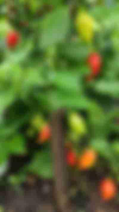 Paprika's kweken