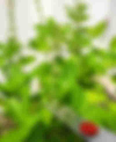 7- Çiçek sineklenirse ne yapılır? - Fesleğen ekin